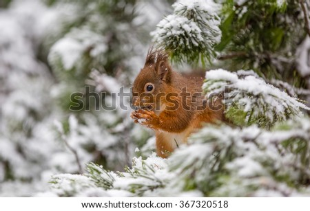 Red squirrel in Winter snow, County of Northumberland, England - stock photo