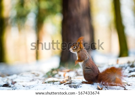 Red squirrel in winter with blurred forest full of light in the background - stock photo