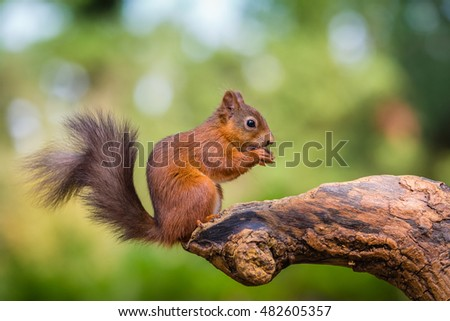 Red squirrel in woodland, County of Northumberland, England