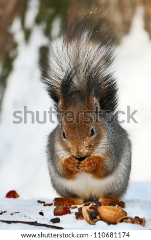 Red squirrel is eating nuts on the snow. - stock photo