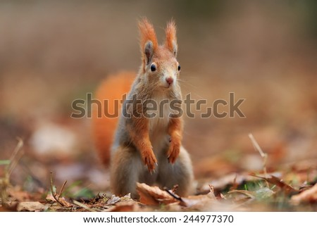 Red squirrel is looking around - stock photo