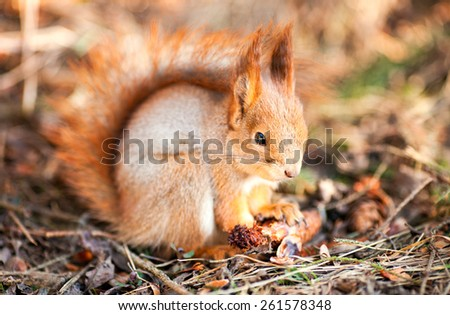 Red squirrel keeps paws bump - stock photo