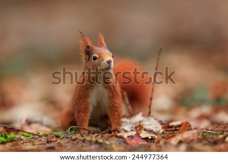 Red squirrel look up - stock photo