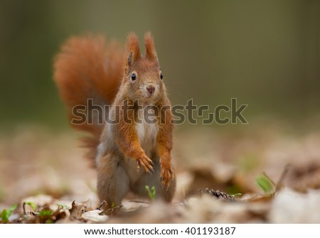 Red squirrel looking at photographer, clean background, Czech Republic, Europe