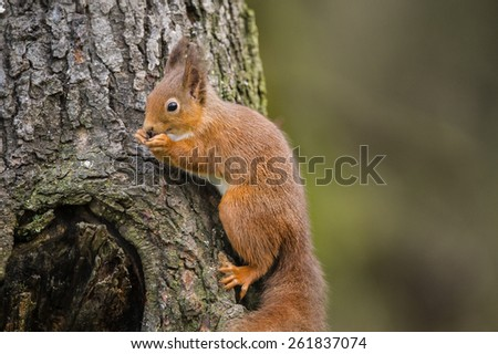 Red Squirrel on a tree trunk in Scotland nibbling a nut