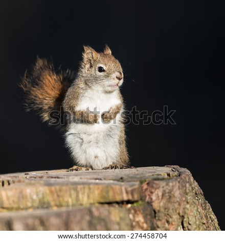 Red Squirrel on Black Background - stock photo