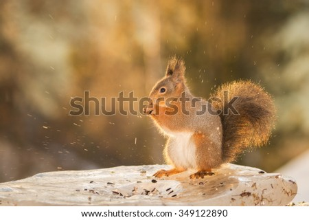 red squirrel on ice while drops falling of melting  ice  - stock photo
