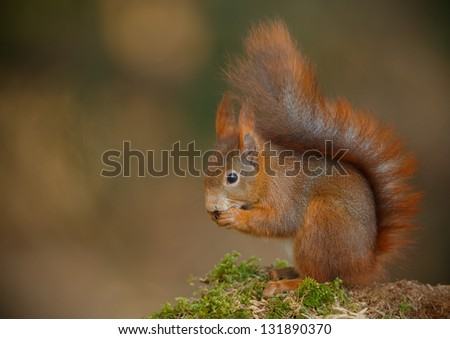 Red squirrel on mossy log eating a hazel nut with soft background and space to the left - stock photo