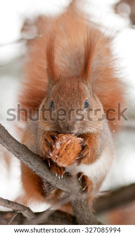 Red squirrel on the branch eating a walnut