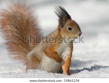 Red squirrel on the snow looking to the right