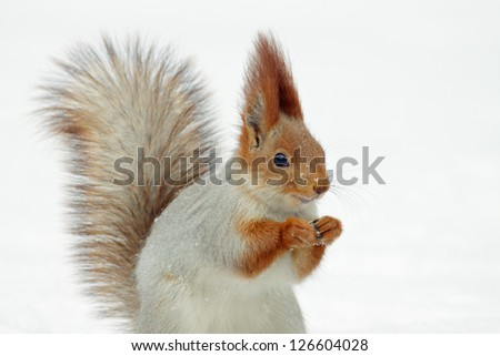 Red squirrel on white snow.