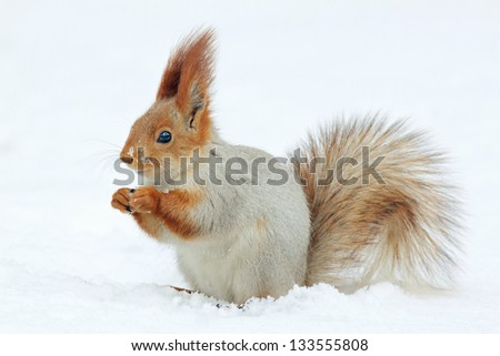 Red squirrel on white snow. - stock photo