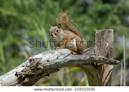 Red Squirrel perched on a broken tree limb