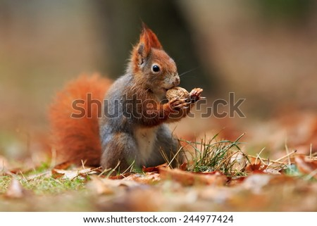 Red squirrel portrait - stock photo