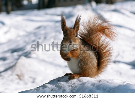 red squirrel posing at the park - stock photo
