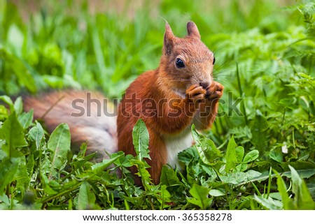 red squirrel (Sciurus) funny standing on its hind legs - stock photo