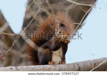 Red squirrel (Sciurus vulgaris) eating on a tree branch. Blue sky on background.