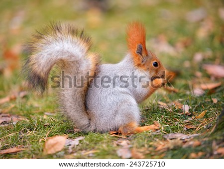 Red squirrel Sciurus vulgaris eating sunflower seeds in the autumn forest