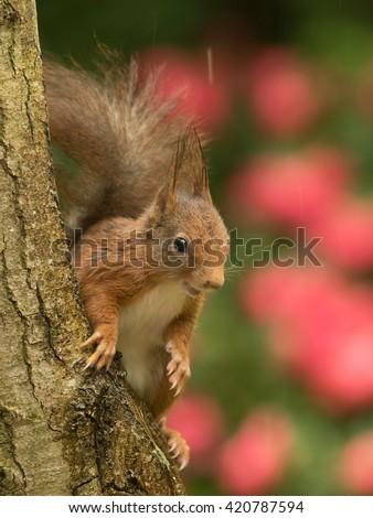 Red Squirrel - Sciurus Vulgaris - Eekhoorn  - stock photo