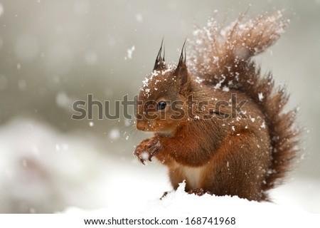 Red Squirrel (Sciurus Vulgaris) in deep snow, England. - stock photo