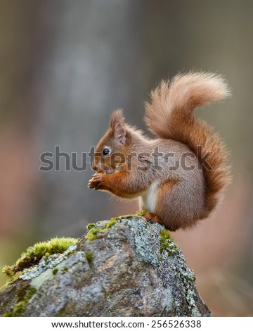 Red Squirrel, Sciurus vulgaris, in the forest eating a nut - stock photo