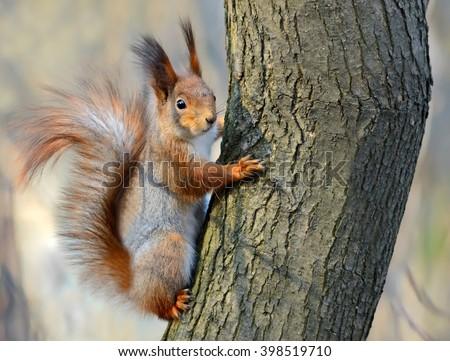 Red squirrel (Sciurus vulgaris) in the forest in the wild - stock photo