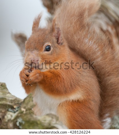 Red Squirrel (Sciurus vulgaris) - Portrait