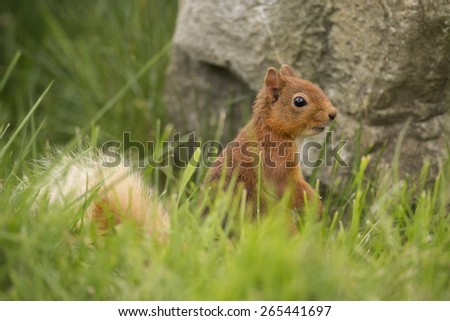 Red Squirrel ,Sciurus vulgaris, sitting in the grass in front of a rock