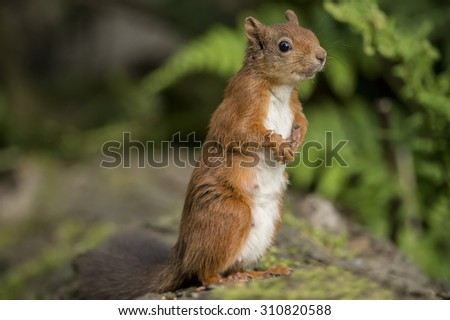 Red squirrel, Sciurus vulgaris, standing on a tree trunk, looking interested