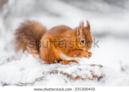 Red Squirrel searching for food, County of Northumberland, England - stock photo
