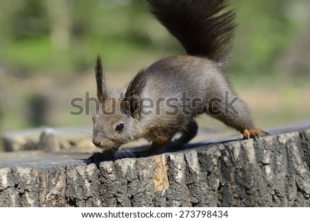 Red squirrel searching for food on top of log - stock photo