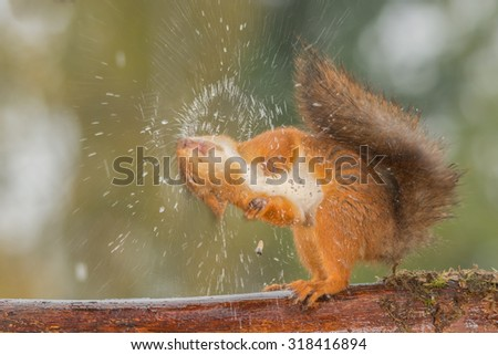 red squirrel shaking out water - stock photo