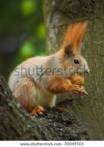 Red squirrel siting on the tree and eating a nut