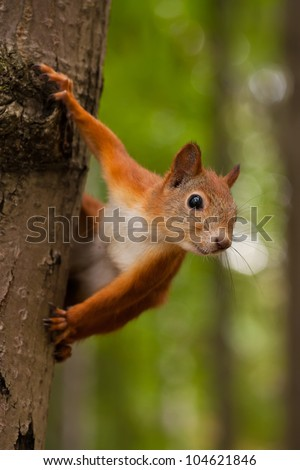 Red squirrel sitting on a tree in forest
