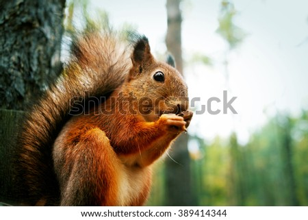 Red squirrel sitting on feeder and gnawing nut in autumn park