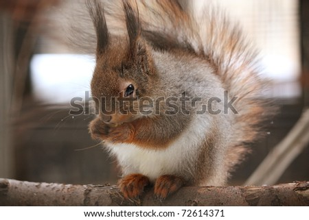 red squirrel sitting on the branch and eating