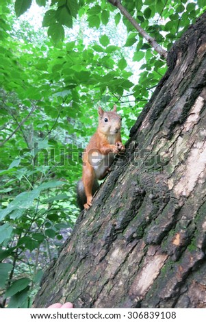 Red squirrel sitting on the tree. - stock photo