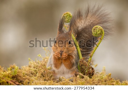 red squirrel standing behind ferns looking in the lens