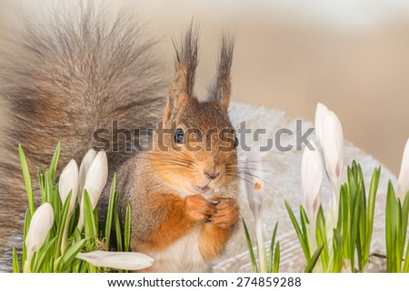 red squirrel standing in front of ice and behind flowers