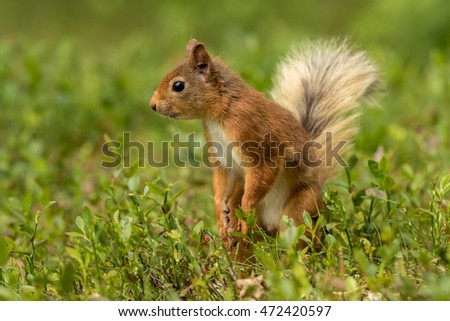 Red squirrel standing in green foliage looking around with a green background.
