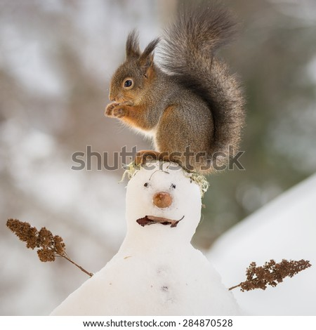 red squirrel standing on a snow man - stock photo