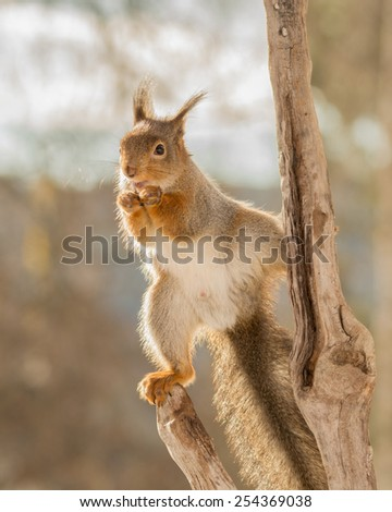 red squirrel standing on  a tree trunk looking to the camera