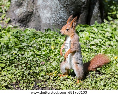 red squirrel standing on green grass near a tree in park