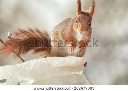 red squirrel standing on ice looking at the camera