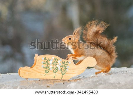 red squirrel standing with a sleigh on ice - stock photo