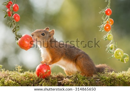 red squirrel standing with tomatoes