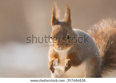 red squirrel standing with yogurt in hands and nose