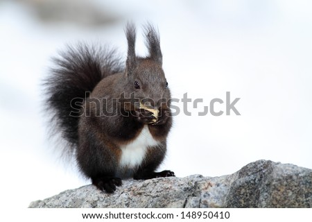 red squirrel while eating in winter - stock photo