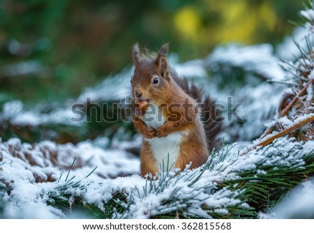 Red squirrel with hazelnut, County of Northumberland, England - stock photo