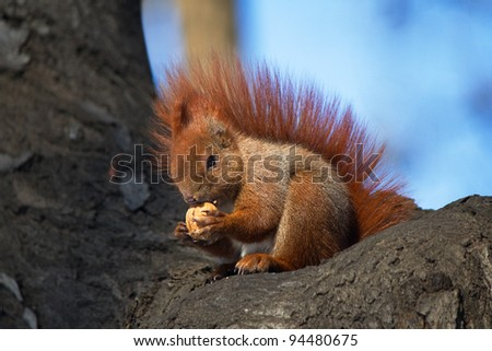 Red squirrel with nut - stock photo